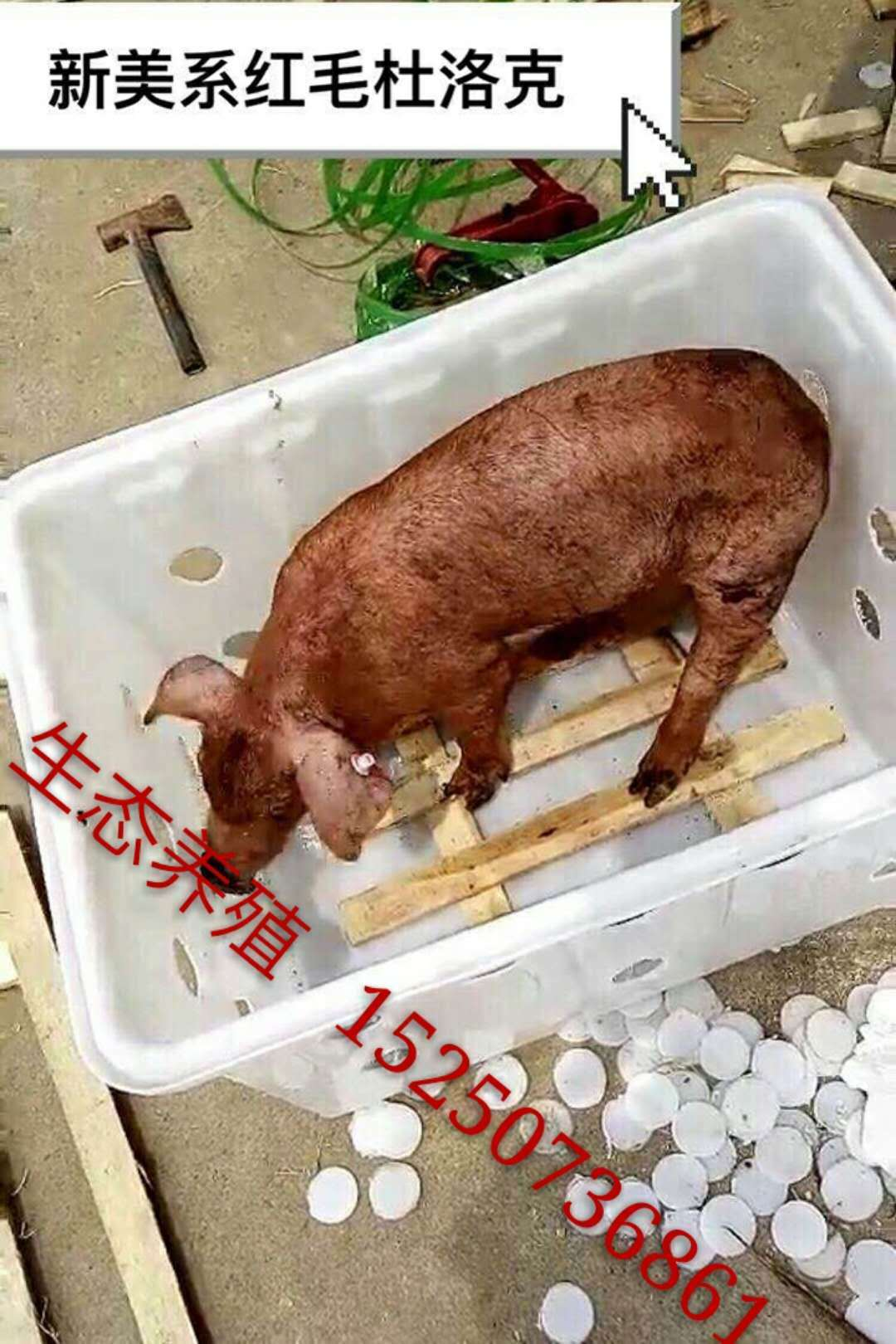 Purebred Duroc sows Sutai Beijing black pig two yuan three yuan sows piglets pigs seedlings shipping about 30 pounds