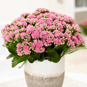 花花饰家长寿花带花苞盆栽重瓣多肉植物花卉多年生四季开花包邮
