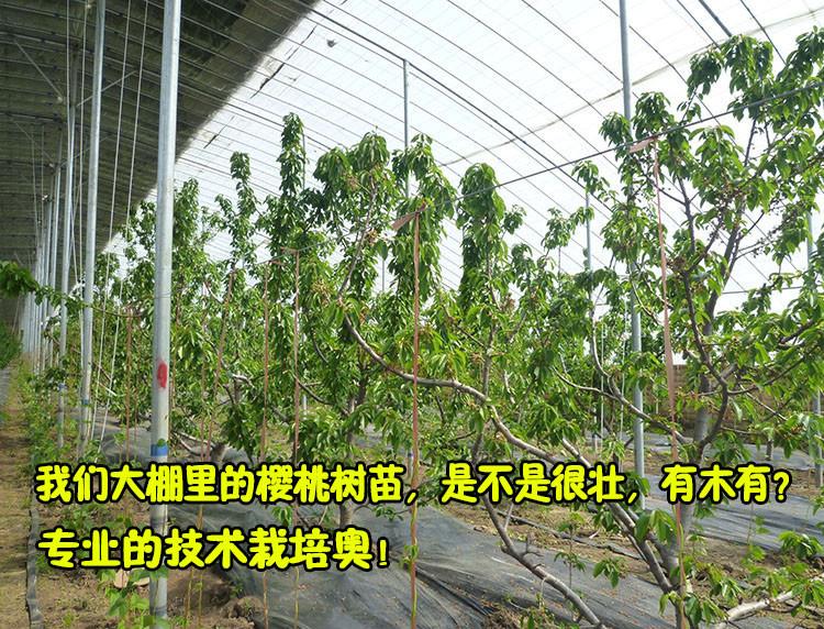 果树苗盆栽地栽樱桃树苗南方北方车厘子树苗当年结果樱桃苗包品种