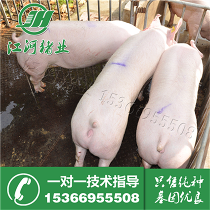 Taihu Sutai piglets sows sell Zhumiao Duroc Landrace piglets for black in shipping 20-80 pounds