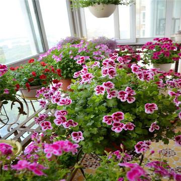 天竺葵天使 糖果系列花苗盆栽 新品经典四季开花阳台庭院室内花卉