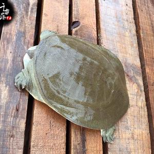 1斤甲鱼活体免邮生鲜活中华老鳖3年野外塘放养水团鱼无公害王八
