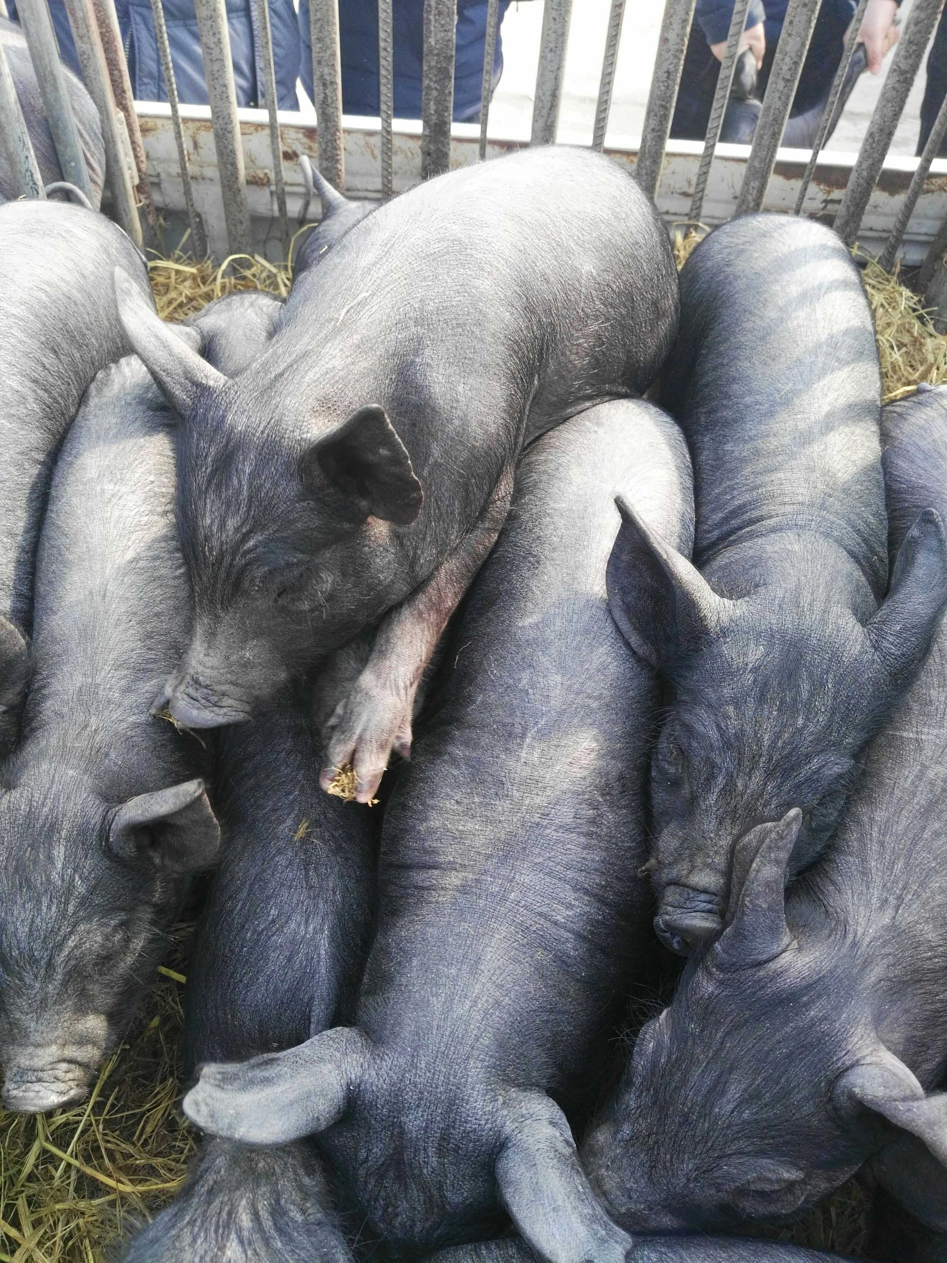 Small boar, small sow, three Yuan Miscellaneous, pet pig, black pig and so on