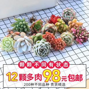 Succulents Planting Succulents Green Plants Flowers Potted Succulents New Style Meat Dudu Indoor Plants