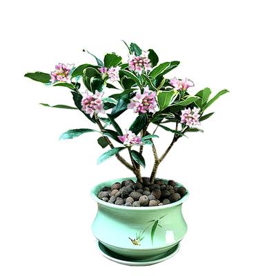 金边瑞香盆栽老桩浓香型花卉植物室内花办公室吸甲醛好养开花不断